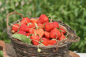 Basket with a ripe strawberry — Stock Photo