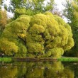 Old branchy tree at a pond — Stock Photo #1195734