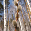 Willow branch in birch wood — Stock Photo