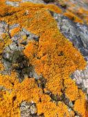 Orange lichen on bark as background — Stock Photo