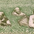 Farmers picking tea — Stock Photo