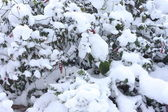 Plants covered with snow — Stock Photo