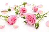 粉红玫瑰 — 图库照片