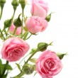 Pink rose — Stock Photo #1392390