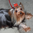 Close shot of a Yorkshire Terrier - Stock Photo