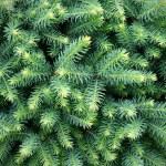 Fur-tree background — Stock Photo #1225844