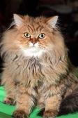 Redheaded cat — Stock Photo