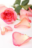 Closeup of pink rose — Stock Photo