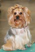 Yorkshire terrier portresi — Stok fotoğraf