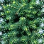 Fur-tree background with snowflakes — Stock Photo