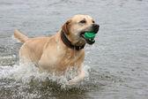 Dog with ball at teeth runs on water — Stock Photo
