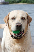 Dog with ball at teeth — Stock Photo