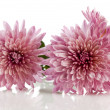 Pink chrysanthemum — Stock Photo #1278379