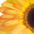 Yellow gerbera — Foto de stock #1289547