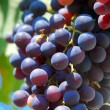 Royalty-Free Stock Photo: Dark wine grapes
