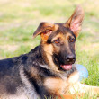 Royalty-Free Stock Photo: German Shephard dog