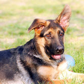 German Shephard dog — Stock Photo