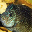 Aquarium fish. Macro - Stock Photo
