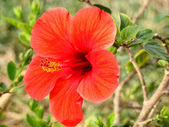Hibiscus flower and shoot — Stock Photo