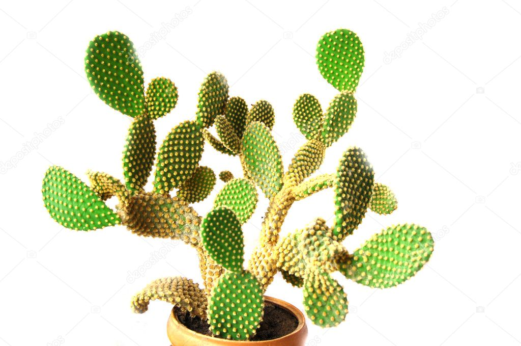 Green and prickly cactus leaves   Stock Photo #1304185