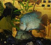 Аквариумные рыбы — Стоковое фото