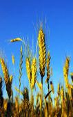 金小麦 — 图库照片