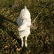 Little white goat — Stock Photo #1252312