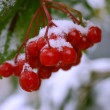 Stock Photo: Viburnum under Snow