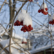 Stock Photo: Snowy berries