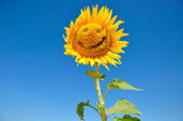 Sunflower with a smile — Stock Photo