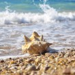 conch shell&quot — Stock Photo