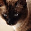 Siamese cat — Stock Photo #1221535