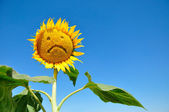 Sunflower — Stock Photo