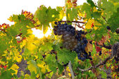 Grape field in summer, vintage — Stock Photo