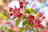 Apple tree blooming — Stock Photo