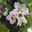 Bee on apricot flowers - Lizenzfreies Foto