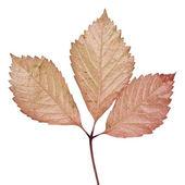 Isolated autumn leaf — Stock Photo