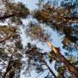 Bottom wide view of pine trees — Stock Photo #1311889
