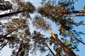 Bottom wide view of pine trees — Stock Photo