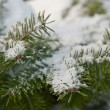 Pine branch in snow — Stock Photo
