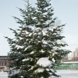Pines in snow — Stockfoto #1481955