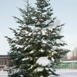 Pines in snow — Stock Photo #1481955