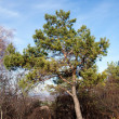 Lonely pine — Stock Photo #1482073
