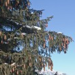 Stock Photo: Cones on pine tree