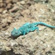 Stock Photo: Blue rock agama