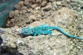 Blue lizard — Stock Photo