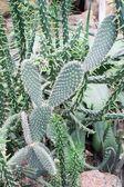 Opuntia leucotricha — Stock Photo