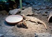 Short-eared elephant shrew and iguana — Stock Photo