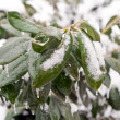 Frozen green leaves — Stock Photo