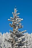 Pine covered with snow — Stock Photo